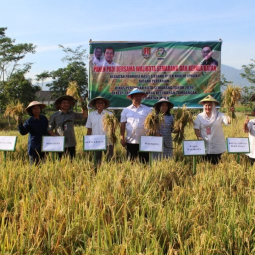 DISPERTAN : Panen Padi bersama Walikota & BATAN di KT Ayem Tenang